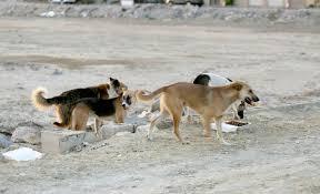 الاغوار الشمالية: الكلاب الضالة خطر يلاحق طلبة المدارس بعد ازدياد حالات العقر