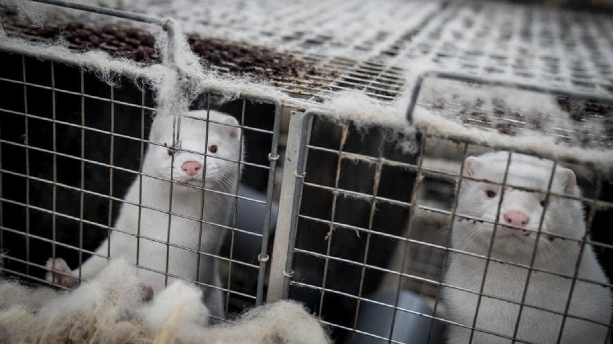 فرنسا تكتشف فيروس كورونا في مزرعة لحيوان المنك