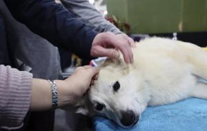إصابة كلب بكورونا في نيويورك