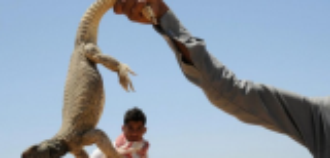 """سعوديون يبدأون موسم صيد """"الضبان"""" لتزيين موائدهم بلحمه ..  صور"""