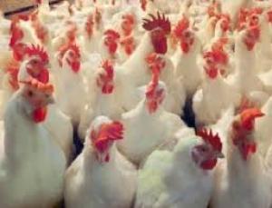 11 مليون طير دجاج بيعت في اول اسبوعين من رمضان