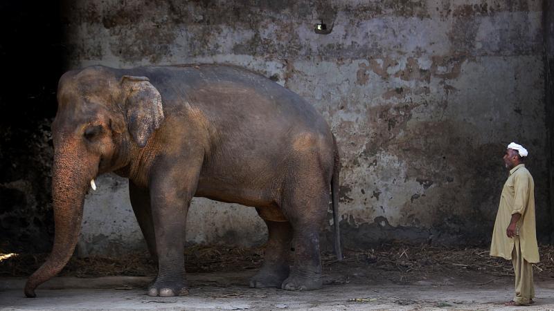 """بعد أن عاش مقيداً بالسلاسل 35 عاماً في باكستان ..  الفيل """"كافان"""" حر أخيراً"""