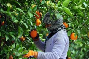مصر : تفاصيل مروعة  ..  موظف يجرد طفلة من ملابسها ويهتك عرضها وسط حديقة برتقال
