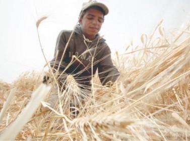 مخزون المملكة من القمح يغطي استهلاك 10 أشهر