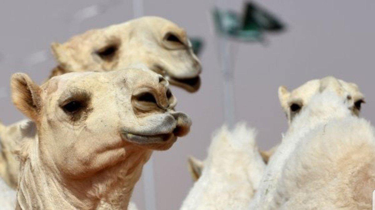 عمليات تجميل و تكبير شفاه للآبل في السعودية تصل لـ(1000) ريال