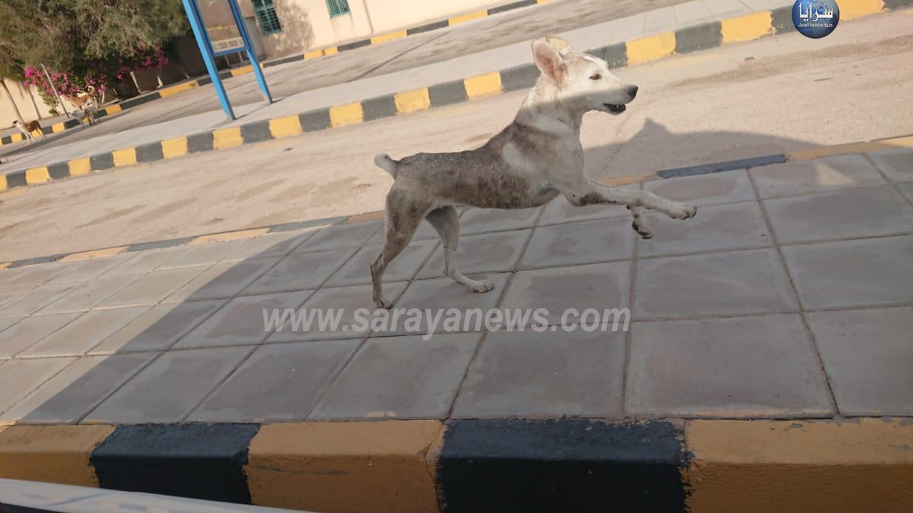 بالفيديو والصور  ..  كلاب متوحشة تهاجم مركز جمرك وادي عربة يثير الرعب بين المسافرين