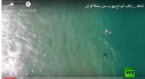 بالفيديو :راكب أمواج يهرب من سمكة قرش