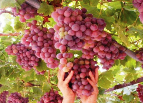 """""""الزراعة"""" تسمح باستيراد العنب والتفاح والجزر من سوريا"""
