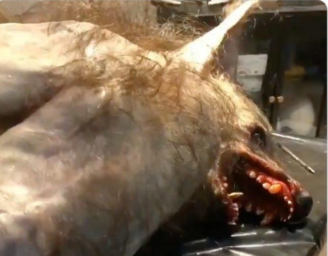 """ما حقيقة فيديو """"ذئب على هيئة إنسان"""" شمال السعودية  .. فيديو"""