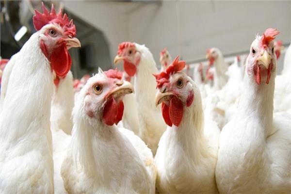 """انخفاض تدريجي على أسعار الدجاج .. """"تفاصيل"""""""