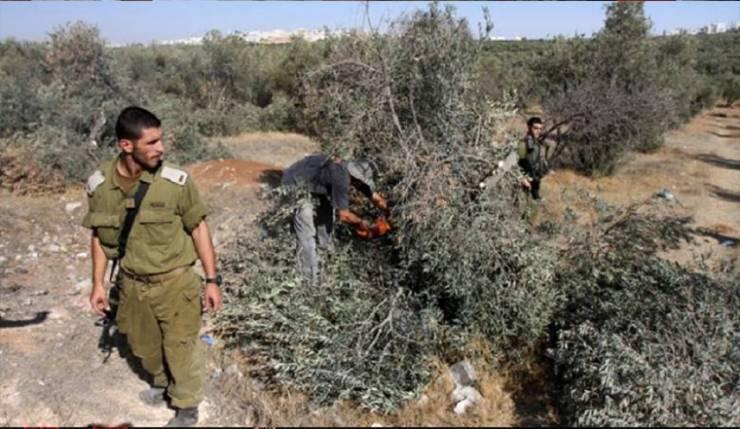 الاحتلال يطرد قاطفي الزيتون من أراضيهم جنوب نابلس