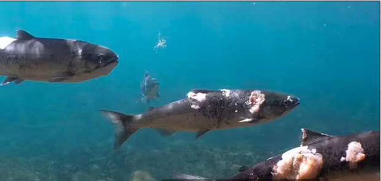 فيديو صادم يسجل كارثة ..  أسماك السلمون تحترق في مياه المحيط