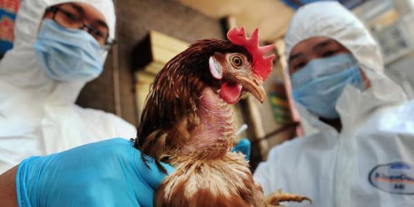 """الزراعة لـ""""سرايا"""": الأردن خالٍ من """"انفلونزا الطيور"""" و قرار وقف الإستيراد يشمل الرخص الممنوحة"""