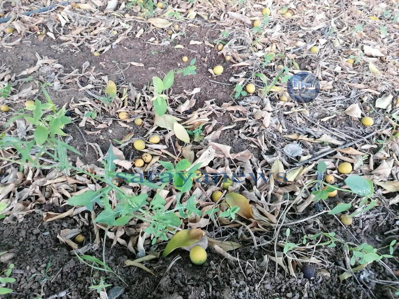 بالصور ..  كارثة تضرب القطاع الزراعي بالأغوار الشمالية جراء تساقط ثمار الحمضيات