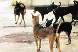كلاب ضالة داخل مدينة مادبا