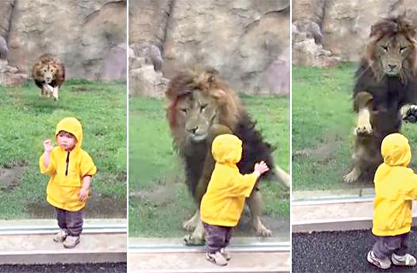 بالفيديو  ..  نجى من الموت بأعجوبة ..  طفل يصارع أسداً في مواجهة مصيرية