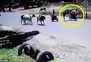 """فيديو طريف ..   تعرف على حكاية البقرة التي تلعب """"الكونغ فو"""" ..  """"تفاصيل"""""""