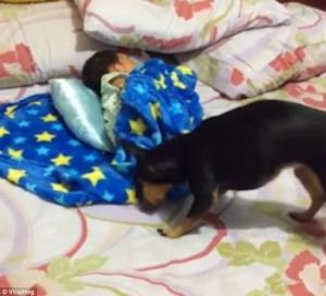 بالفيديو .. كلب يغطى طفل صغير نائم