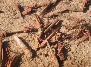 الزراعة تواصل مكافحتها للجراد الصحراوي في العقبة