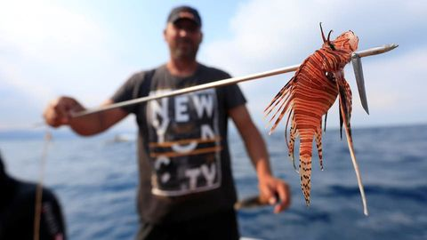 """سمكة """"غريبة"""" تغزو البحر المتوسط .. ودعوات لتذوقها ..  صور"""