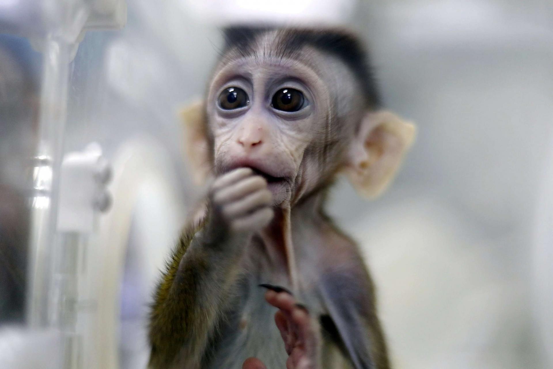 """سويسرا: استفتاء تاريخي قد يمنح القردة """"حقوقا أساسية"""" كالبشر"""