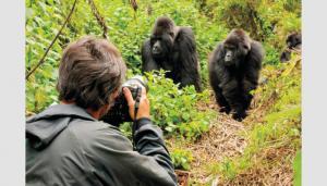شاهد بالفيديو  ..   الغوريلا الجبلية تنتشل السياحة في رواندا