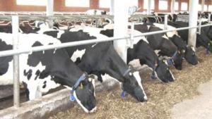 مطالبة بإغلاق مزرعة أبقار تعد مكرهة صحية في شمال مأدبا
