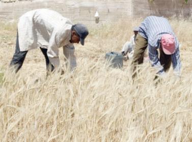 223 مليون دينار قيمة دعم القمح والشعير
