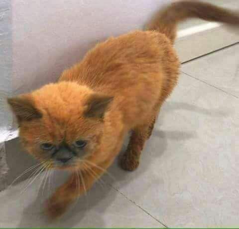 بالصور  ..  القبض على اردني في إيطاليا يقوم بتغطيس القطط في الحنة ثم يقوم ببيعها