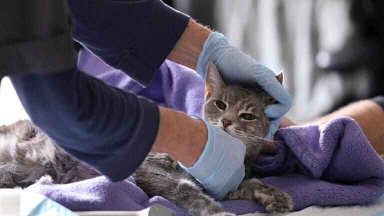 عدوى كورونا تصيب قطة أليفة ثانية في فرنسا والعلماء في حيرة من أمرهم