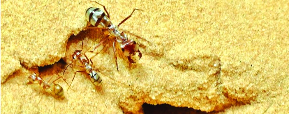 أسرع نملة في العالم تتفوق على الفهد