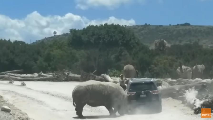 بالفيديو ..  وحيد قرن يصدم سيارة لإثارة إعجاب أنثى