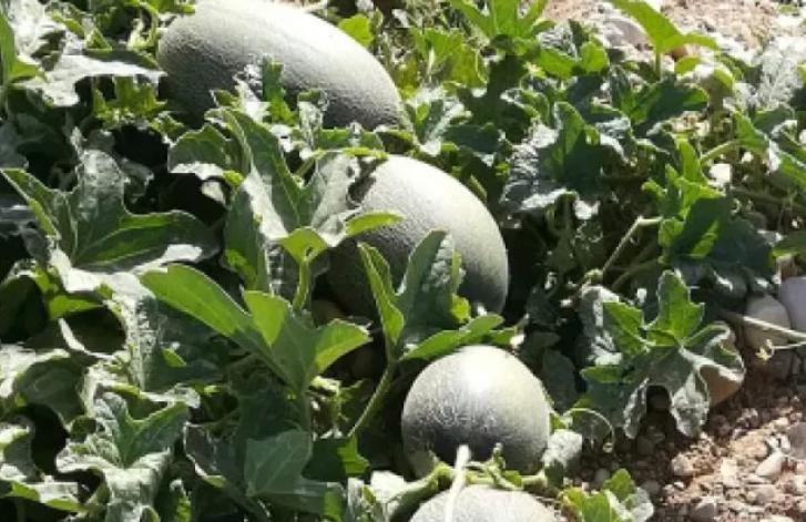 مزارعون يحذرون من تلف المحاصيل لعدم حصولهم على تصاريح