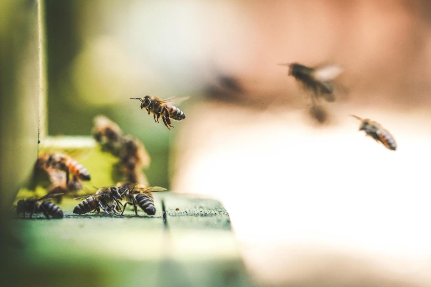 تفسير رؤيا لدغ النحل في المنام