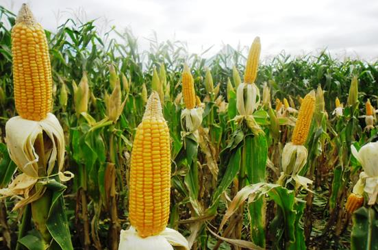 """مزارع دفن ولدين على قيد الحياة بسبب  سرقتهم """"الذرة"""""""