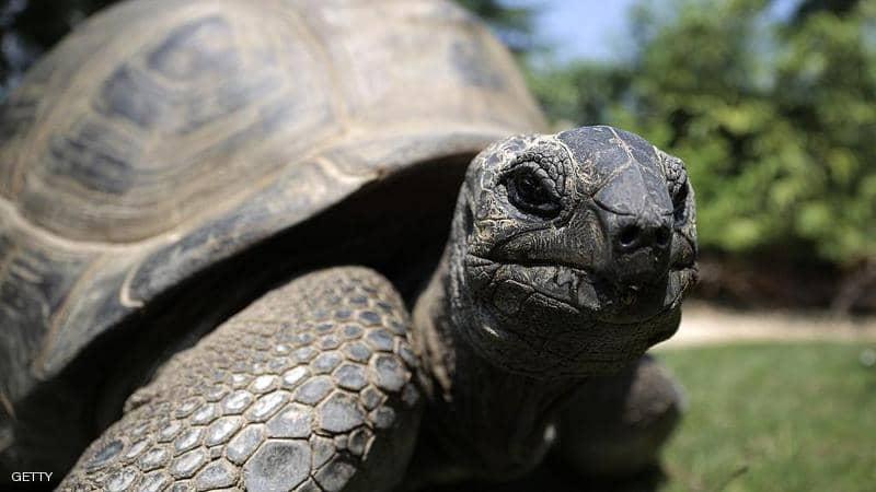 تفوق واحدة من أندر السلاحف في العالم