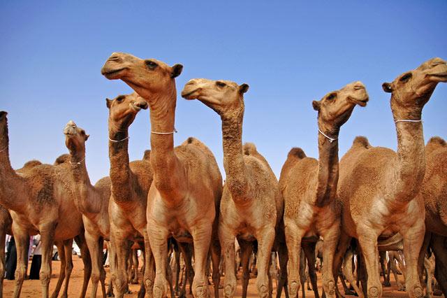 """علماء يؤكدون إصابة الإبل بفيروس """"كورونا"""" في قطر"""