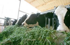 مزارع أبقار ودواجن تطرح 500 طن مخلفات يوميا