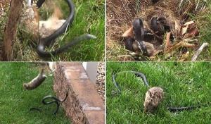 بالفيدو .. أرنبة تهاجم ثعباناً في معركة أسطورية دفاعاً عن صغارها