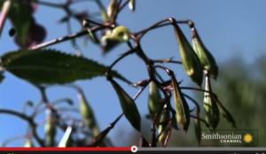 بالفيديو .. نباتات تُفجر نفسها مثل الالعاب النارية
