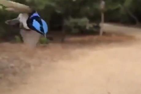 فيديو مدهش لطائر ينقض على هدفه