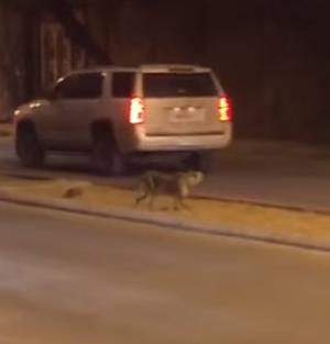 بالفيديو : فهد يتجول بشوارع السعودية و يسير بين السيارات
