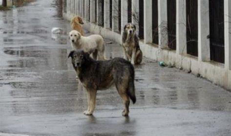 قطعان الكلاب الضالة تهدد أبناء البادية الشمالية