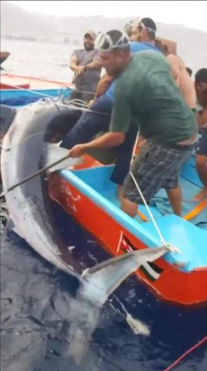 شاهدوا بالفيديو و الصور ..  سمكة قرش عملاقة تهاجم صياد عقباوي و تمزق يده