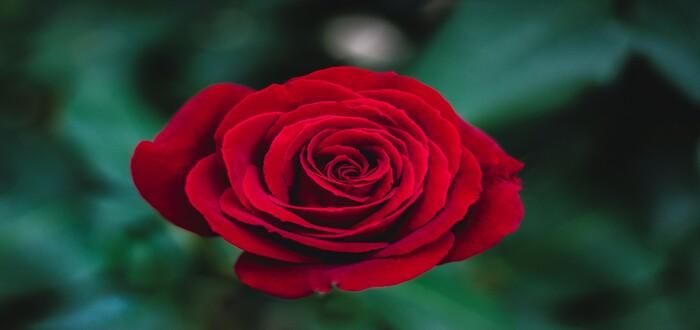 تفسير رؤية الورد الأحمر في المنام