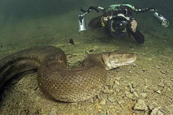 بالصور .. مصور يسبح مع الأناكوندا القاتل ليلتقط صوراً له