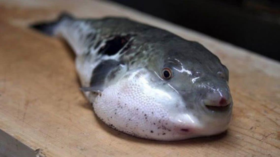 قتلت وسممت الكثيرين بمصر ..  ما هذه السمكة الفتّاكة؟