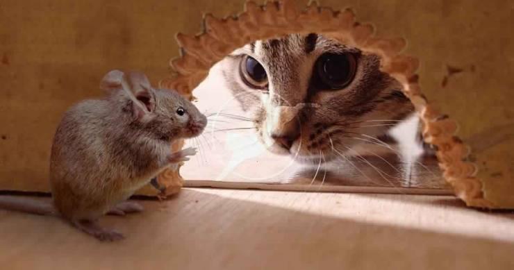 أخيرا ..  دراسة تكشف سبب العلاقة المتوترة بين القطط والفئران