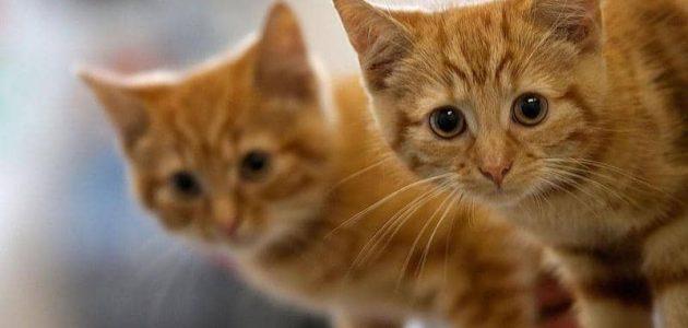 تفسير القطة في المنام للمتزوجة لابن سيرين