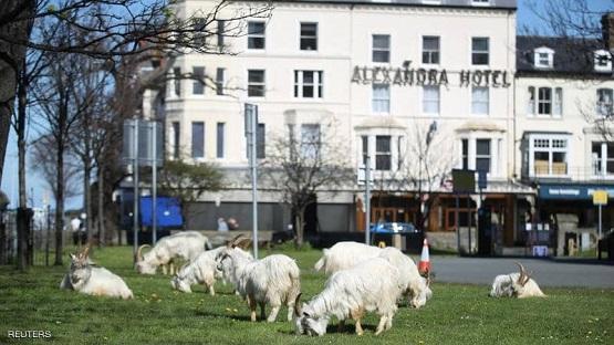التزم السكان منازلهم ..  فاحتل الماعز البلدة